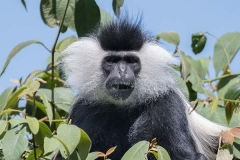 Angolan Colobus Monkey 032