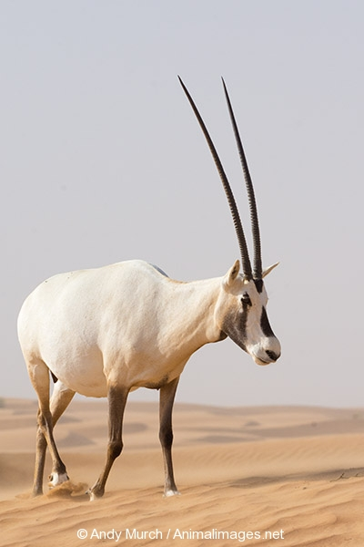 arabian oryx The arabian oryx or white oryx (oryx leucoryx) is a medium-sized antelope with a distinct shoulder bump, long, straight horns, and a tufted tail it is a bovid , and the smallest member of the oryx genus, native to desert and steppe areas of the arabian peninsula.
