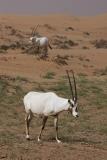 Arabian Oryx 012