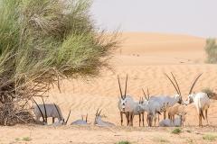 Arabian Oryx 015