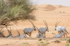 Arabian Oryx 025