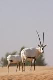 Arabian Oryx 044