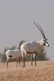 Arabian Oryx 045