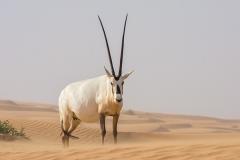Arabian Oryx 052