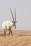 Arabian Oryx 055