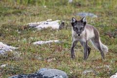 Arctic Fox 006