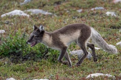 Arctic Fox 010