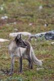 Arctic Fox 015