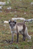 Arctic Fox 016
