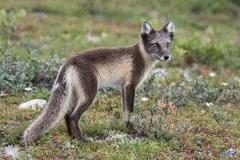 Arctic Fox 017