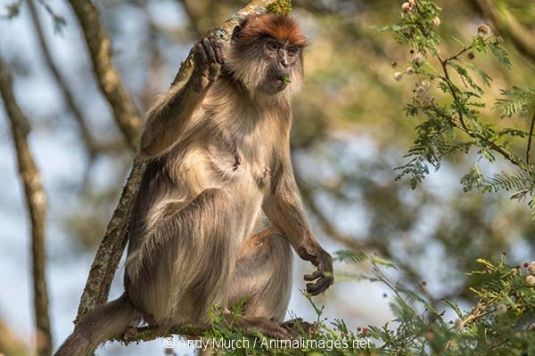 Ashy Red Colobus 016