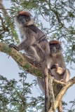 Ashy Red Colobus 009