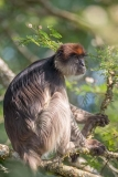 Ashy Red Colobus 014