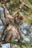 Ashy Red Colobus 018