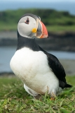 Atlantic Puffin 007