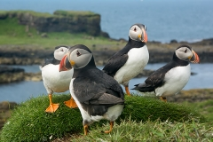 Atlantic Puffin 009