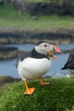 Atlantic Puffin 010
