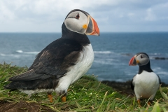 Atlantic Puffin 015