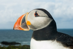 Atlantic Puffin 017
