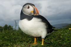 Atlantic Puffin 021
