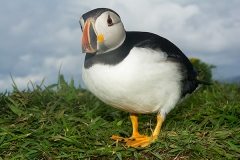 Atlantic Puffin 022