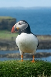 Atlantic Puffin 024