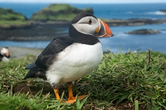 Atlantic Puffin 025