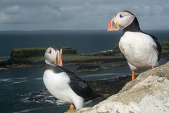 Atlantic Puffin 055