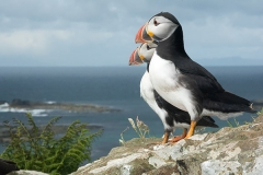 Atlantic Puffin 064