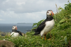 Atlantic Puffin 067
