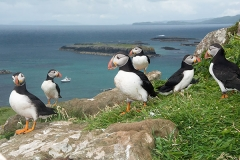 Atlantic Puffin 071