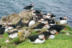 Atlantic Puffin 083