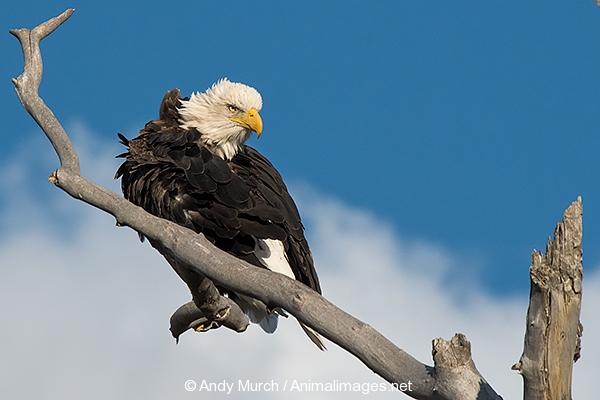 Bald Eagle 010