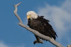 Bald Eagle 004