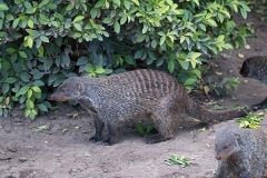 Banded Mongoose 002