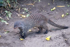 Banded Mongoose 009