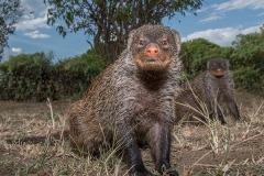 Banded Mongoose 025