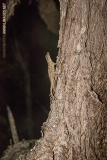 Bark Anole 002