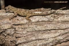 Bark Anole 005