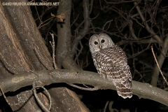 Barred Owl 002