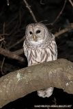 Barred Owl 003
