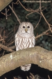 Barred Owl 004