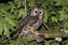 Barred Owl 006