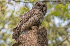 Barred Owl 016