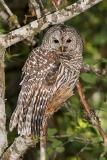 Barred Owl 019