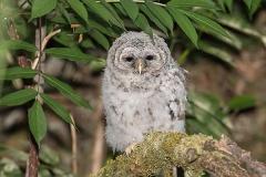 Barred Owl 021