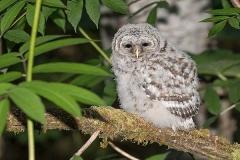 Barred Owl 022