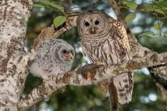 Barred Owl 024