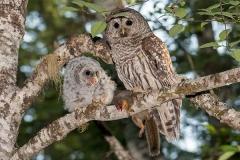 Barred Owl 025