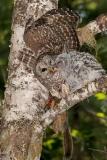 Barred Owl 029